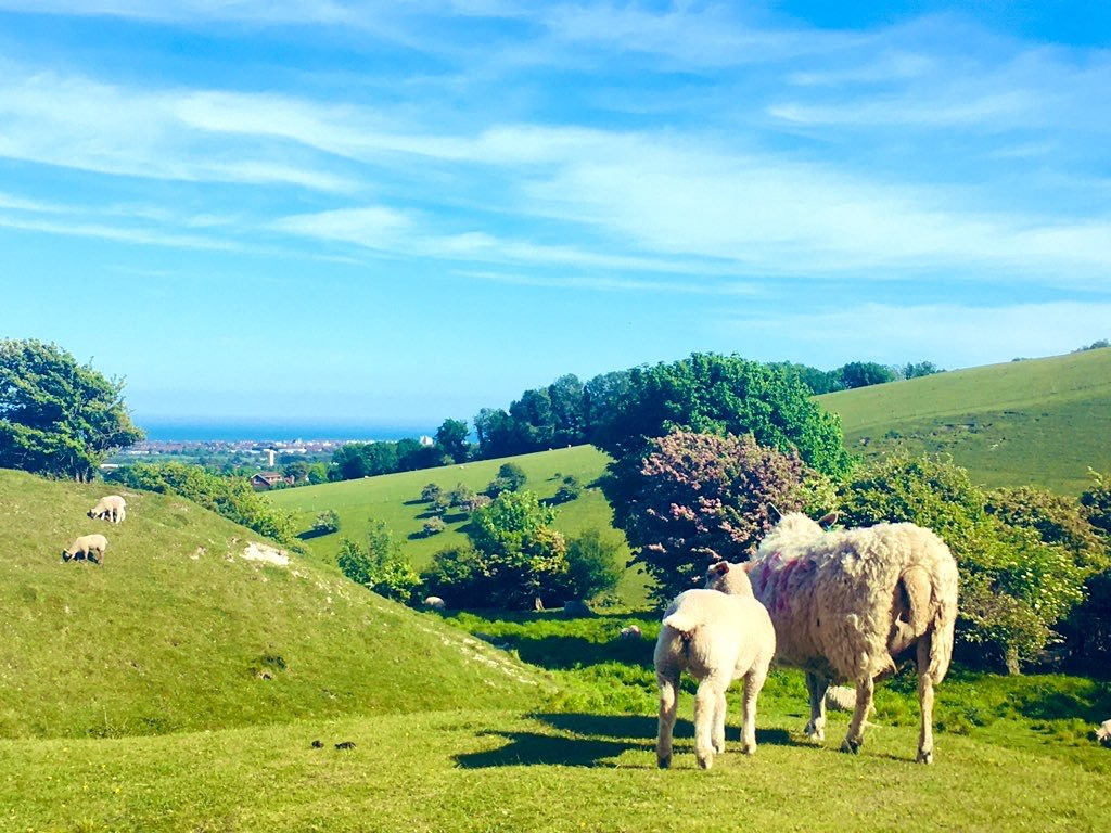 Sheep on the South Downs looking towards Eastbourne and the sea