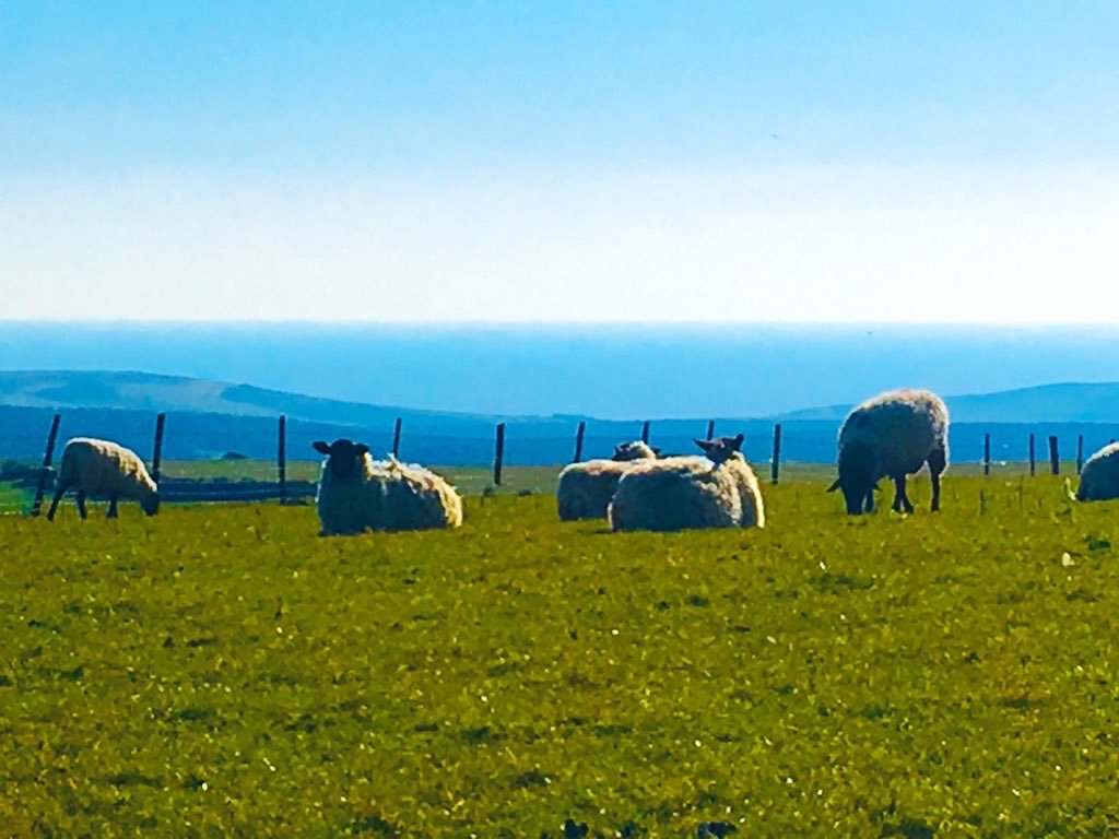 Sheep grazing on the South Downs above the Long Man of Wilmington, May 2020 - Photo by Eleanor Best