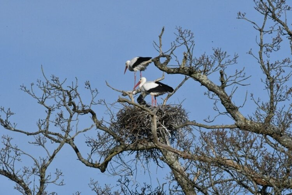 A pair of storks in their nest on a tree at Knepp estate.