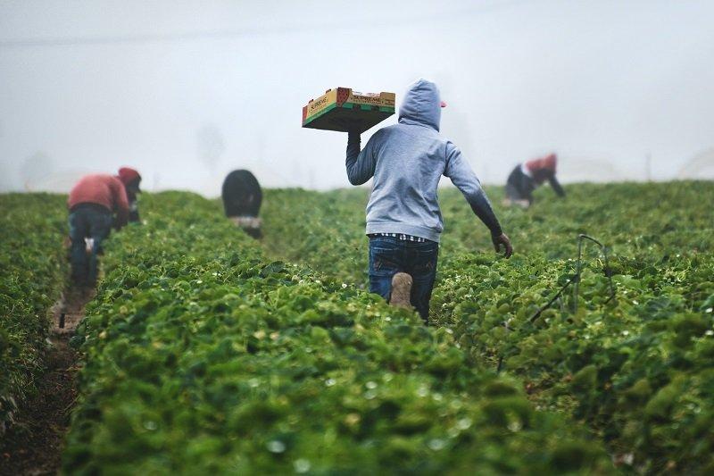 Refugees picking crops