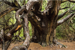 Ancient Yew tree in Kingley Vale, West Sussex