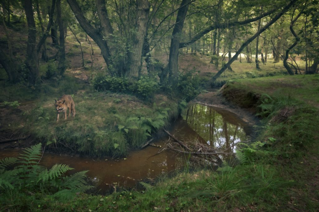 A fox by a stream in the Ashdown Forest