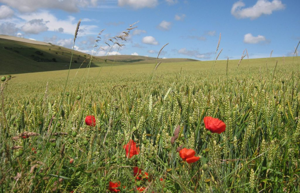 Wheat field with wild poppies on the South Downs, East Sussex