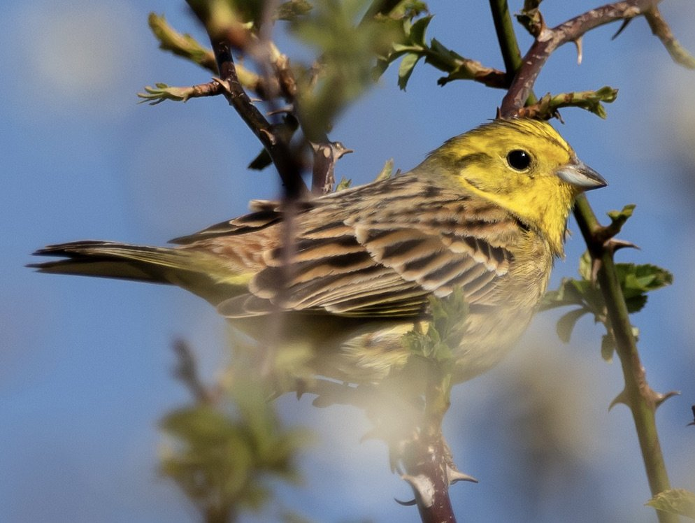 A yellowhammer alights on a twig